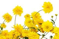 孤立花金黄球(黄金菊) 库存图片
