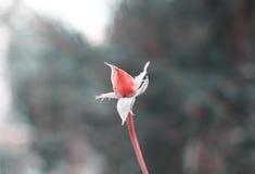 孤立花,在黑白的红色玫瑰 免版税图库摄影