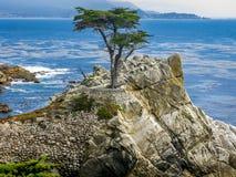 孤立赛普里斯, Pebble海滩,加州 免版税图库摄影