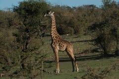孤立长颈鹿吃 库存照片