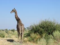 孤立长颈鹿在博茨瓦纳,非洲 库存照片