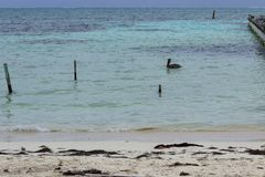 孤立鹈鹕在加勒比的绿松石水域中游泳 图库摄影