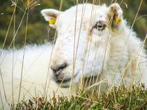 孤立绵羊 免版税图库摄影