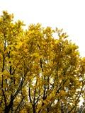 孤立黄色树 免版税库存照片