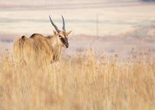 孤立eland的草原 库存照片
