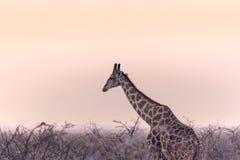 孤立Etosha长颈鹿 库存照片