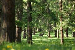 孤立maral赛跑在雾的绿草 免版税图库摄影