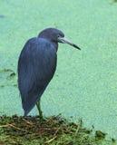 孤零零小的蓝色苍鹭 免版税图库摄影