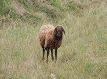 孤零零布朗绵羊 免版税库存图片
