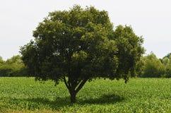 孤零零树 免版税库存图片