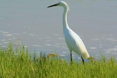 孤零零白鹭在沼泽地栖所 库存照片
