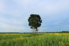 孤零零的桦树 库存图片
