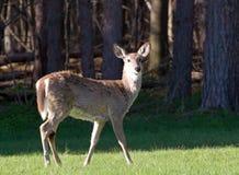 孤零零的鹿 库存照片