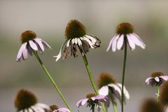 孤零零紫色Coneflower在一个绿色庭院里 免版税库存图片
