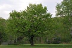 孤零零结构树 库存图片