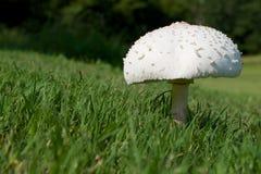 孤零零蘑菇 免版税库存照片