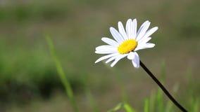 孤零零雏菊在一个草甸在一个晴天 影视素材
