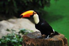 孤零零toucan 免版税库存照片