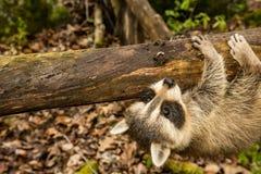 学会小的浣熊上升 免版税库存图片