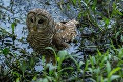 学会的猫头鹰之子寻找在浅小河 库存图片