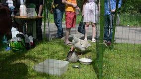 学生农场增长的鸭子和鹅游览手表在笼子 股票录像