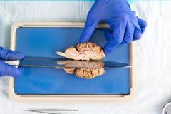学生在切母牛脑子的实验室 库存图片