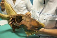 学生在教室在手上停滞古老动物短桨,关闭 兽医医学院或古生物学和考古学科学家 免版税图库摄影