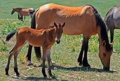 婴孩与母亲/母马野马的马驹野马 免版税图库摄影