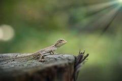 婴孩东部蜥蜴 免版税库存照片