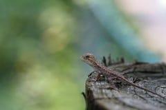 婴孩东部蜥蜴 免版税库存图片