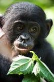 婴孩倭黑猩猩的画象 刚果民主共和国 洛拉Ya倭黑猩猩国家公园 库存图片