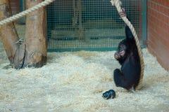 婴孩倭黑猩猩 免版税库存照片