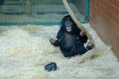 婴孩倭黑猩猩 库存照片