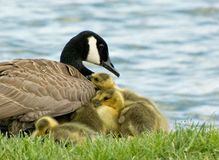 婴孩偎依与成人加拿大鹅的加拿大幼鹅 免版税库存图片
