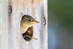 婴孩偷看在鸟房子外面的家鹪鹩 库存图片