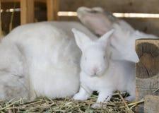 婴孩兔宝宝白色 免版税库存图片