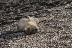 婴孩加拉帕戈斯海狮 免版税库存图片