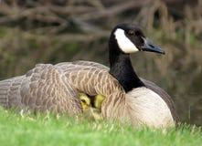 婴孩加拿大在母亲加拿大鹅的保护下鹅幼鹅 免版税库存图片