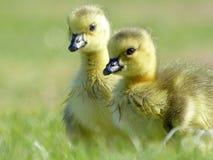 婴孩加拿大在草的鹅幼鹅 免版税库存照片