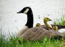 婴孩加拿大幼鹅和成人加拿大鹅在雨中 图库摄影