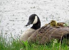 婴孩加拿大鹅和成人加拿大鹅在雨中 免版税库存照片