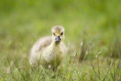 婴孩加拿大鹅在草的幼鹅小鸡 免版税库存照片