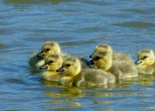婴孩加拿大鹅戈斯林游泳在湖 图库摄影