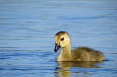 婴孩加拿大鹅游泳在湖 免版税库存照片