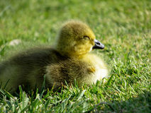 婴孩加拿大鹅说谎的戈斯林在阳光下 免版税库存照片