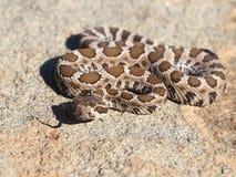 婴孩北和平的响尾蛇 免版税库存照片