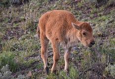 婴孩北美野牛 图库摄影