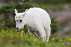 婴孩吃草的石山羊 库存图片