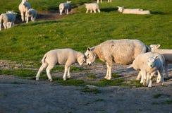 婴孩和母亲绵羊爱 免版税图库摄影