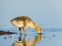 婴孩喝从湖的加拿大鹅 图库摄影